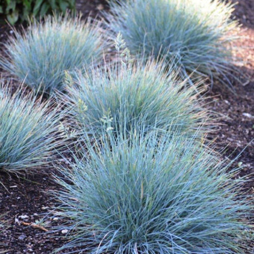 Elijah Blue Fescue Grass in Full