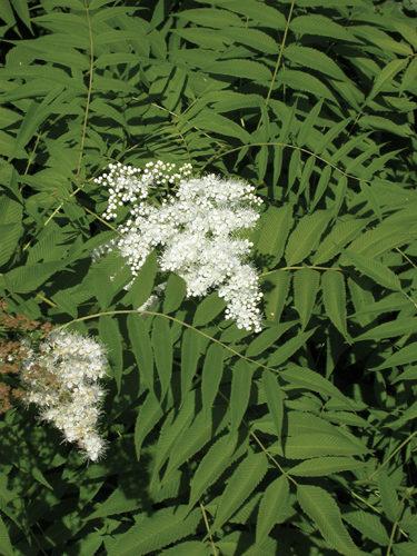 False Spirea Flower Close Up
