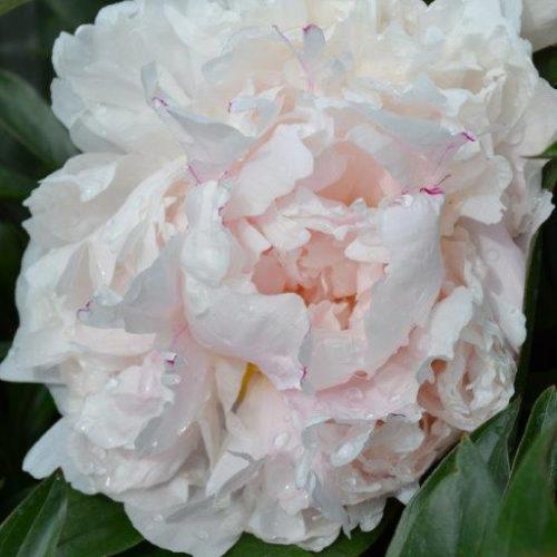 Festiva Maxima Peony Flower Close Up