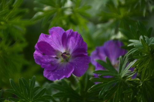Garden Geranium Flower Close Up