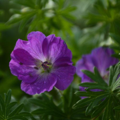 Garden Geranium Flower Close Up