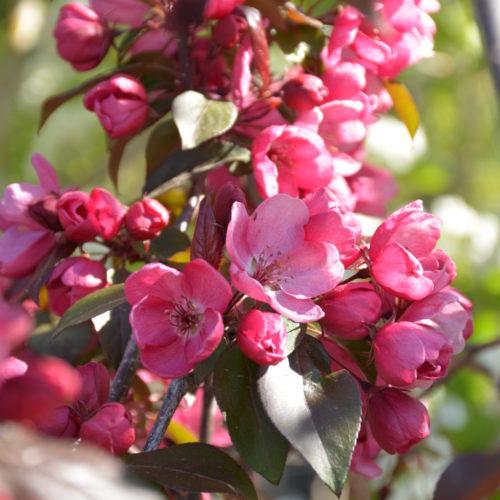 Gladiator Crabapple Flower Close Up
