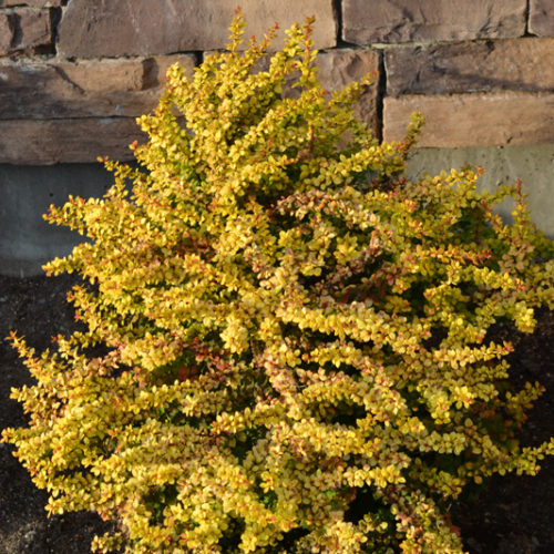 Golden Nugget Barberry Full Shrub