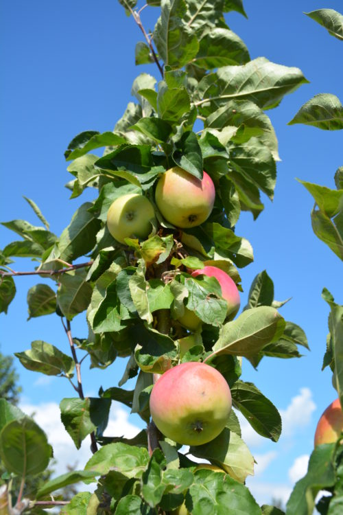 Goodland Apple Fruit Close Up