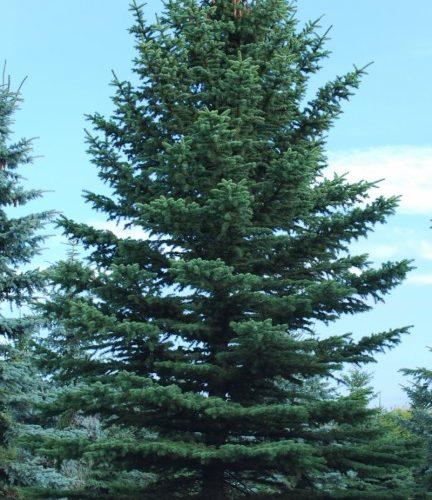 Green Colorado Spruce Full Tree