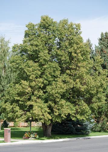 Greenspire Linden Full Tree