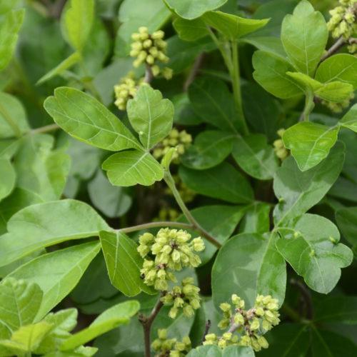 Gro-Lo Fragrant Sumac Flower Close Up