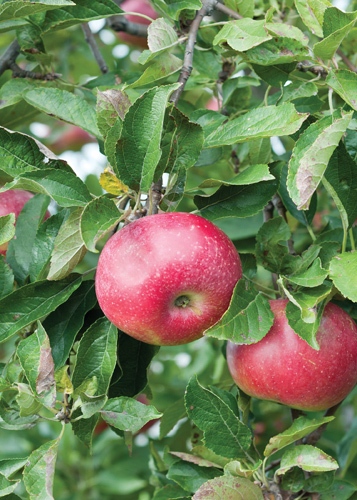 Hardi-Mac Apple Fruit Close Up