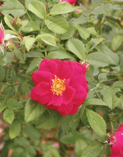 Henry Kelsey Red Rose Flower Close Up