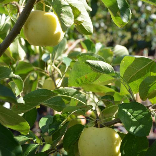 Heyer #12 Fruit Close Up