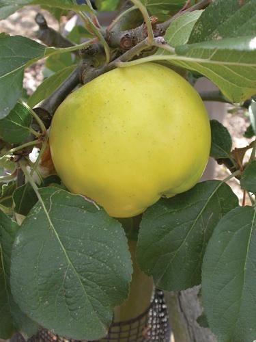 Heyer #12 Apple Fruit Close Up