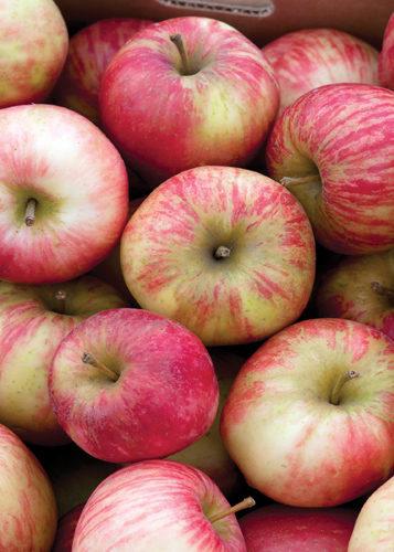 Honeycrisp Apple Fruit Close Up