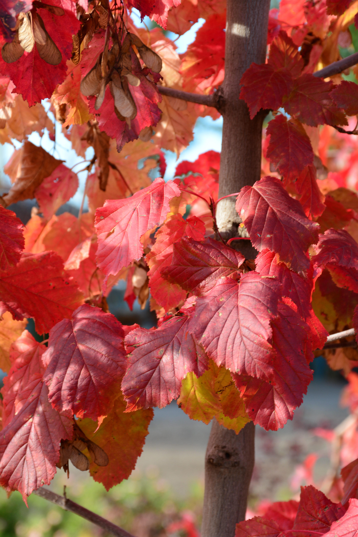Hot Wings Tatarian Maple Kiwi Nurseries Ltd