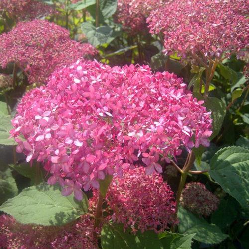 Invincibelle Spirit Hydrangea Flower Close Up