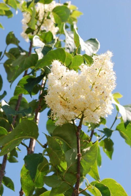 Ivory Silk Lilac Flower Close Up