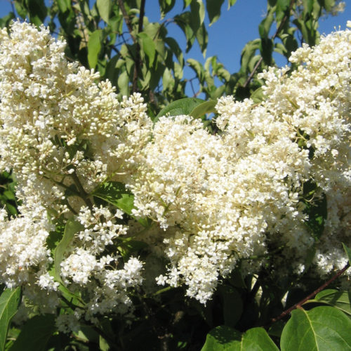 Japanese Tree Lilac Flower Close Up