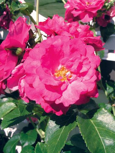 John Cabot Rose Flower Close Up