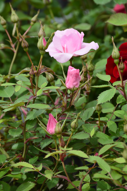 John Davis Rose Flower Close Up