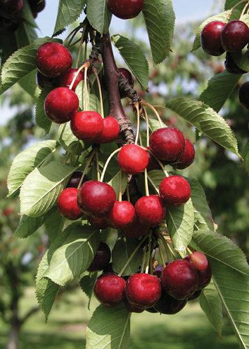 Juilet Cherry Fruit Close Up