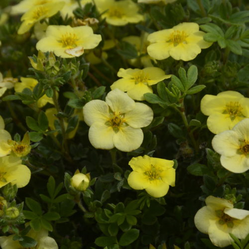 Katherine Dykes Potentilla Flower Close Up