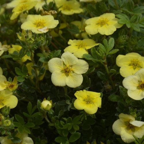 Katherine Dykes Potentilla Flower Close Up