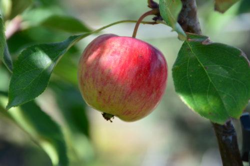 Kerr Crabapple Fruit Close Up