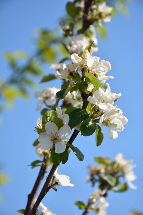 Kerr Crabapple Flower Close Up