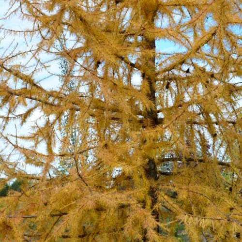 Larch Fall Colours