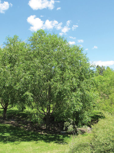 Laurel Leaf Willow Full Tree
