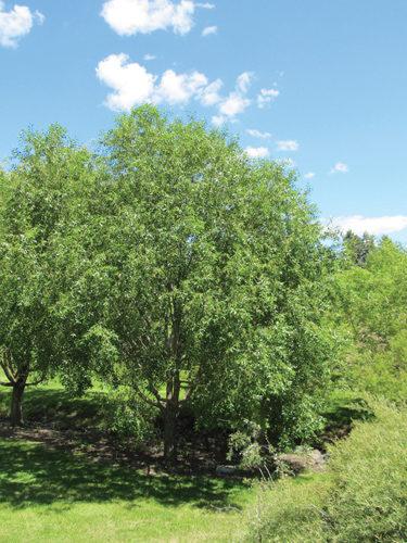 Laurel Leaf Willow Full Tree