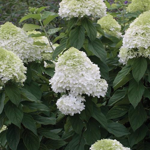 Limelight Hydrangea in Flower
