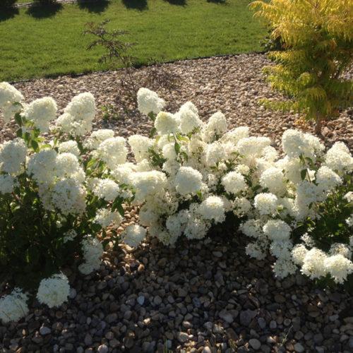 Little Lamb Hydrangea in Flower