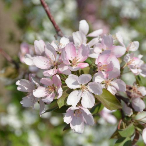 Makamik Crabapple Flower Close Up