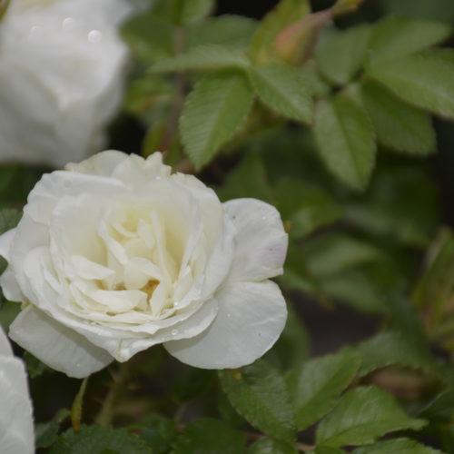 Marie Bugnet Rose Flower Close Up