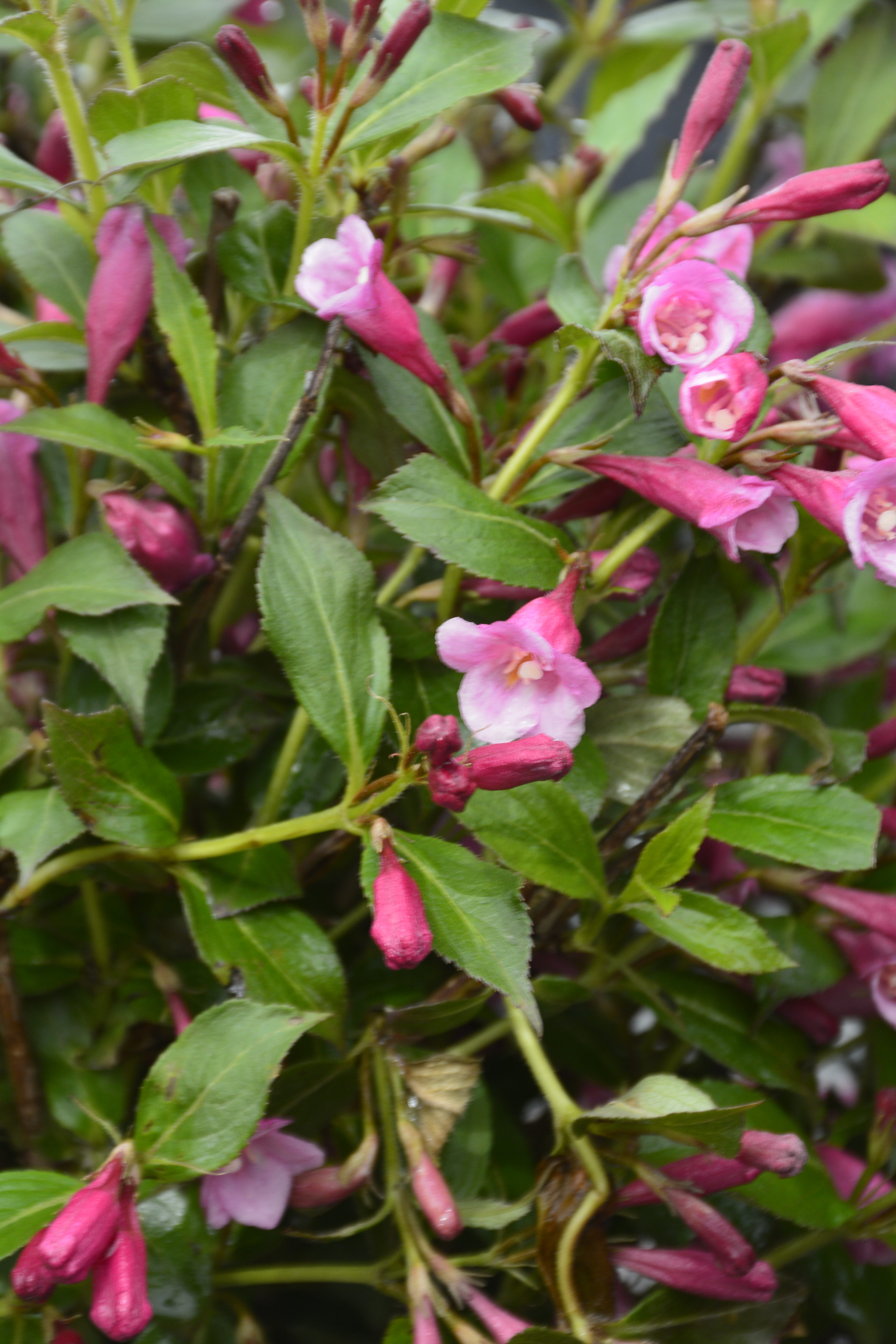 Minuet Weigela Flower Close Up