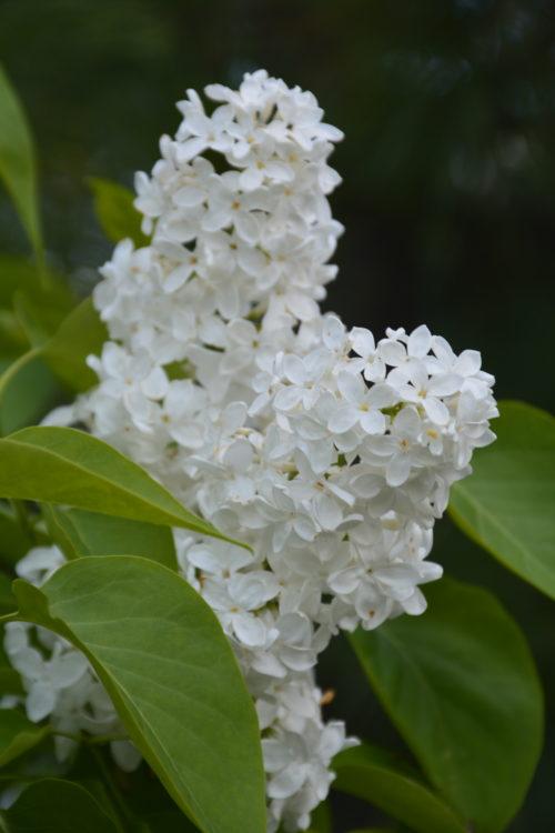 Mme Lemoine Lilac Flower Close Up