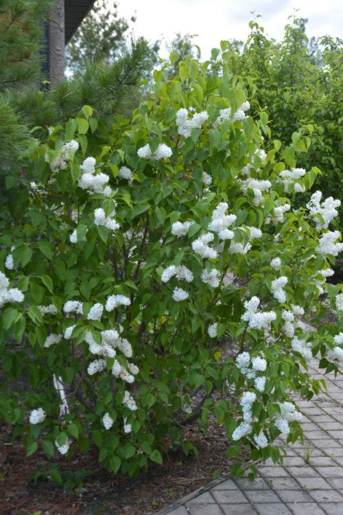 Mme Lemoine Lilac in Flower