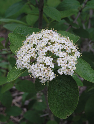 Mohican Wayfaring Tree Flower Close Up