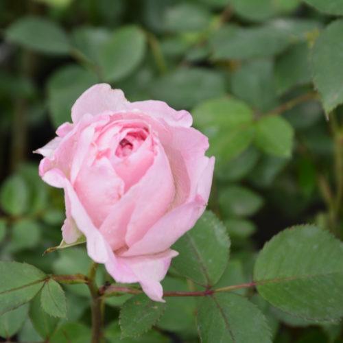 Morden Blush Rose Flower Close Up