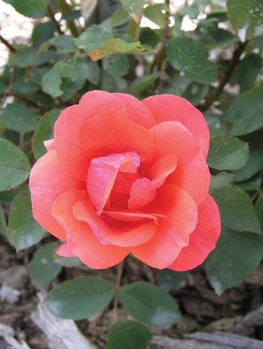 Morden Fireglow Rose Flower Close Up