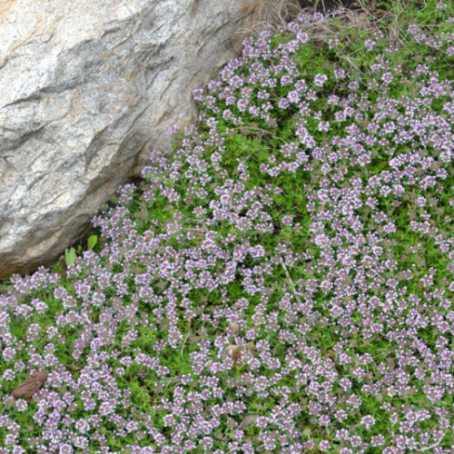 Mother of Thyme in Flower