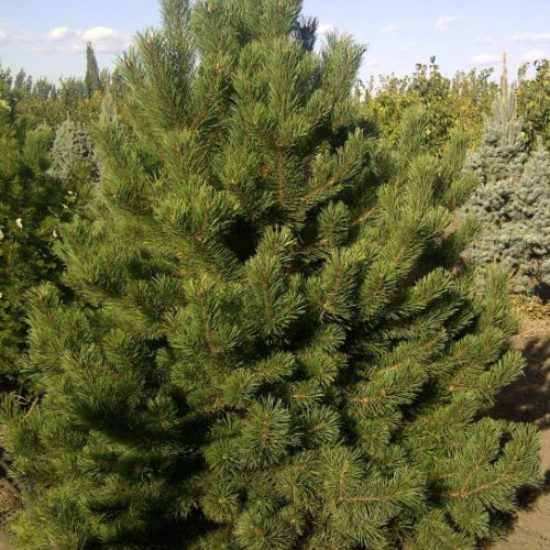 Mountain Pine Full Tree