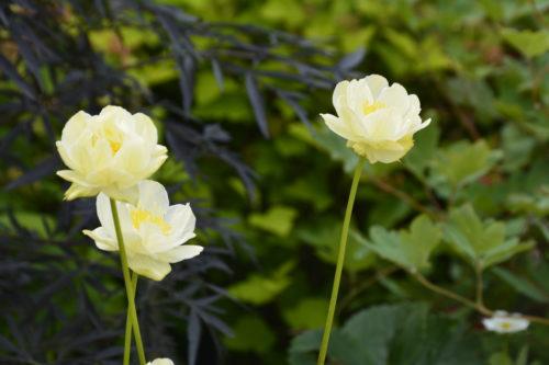 New Moon Globeflower Flower Close Up