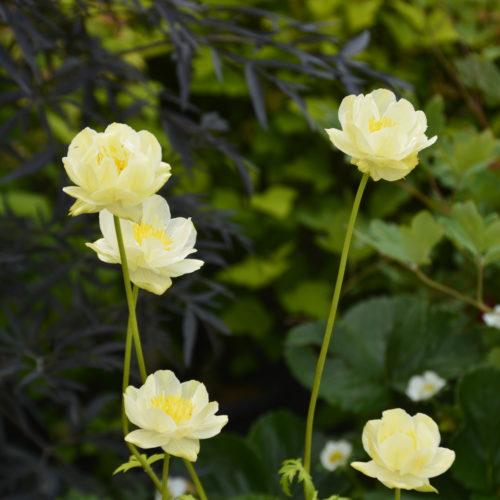 New Moon Globeflower in Flower