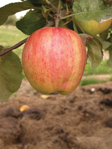 Norland Apple Fruit Close Up