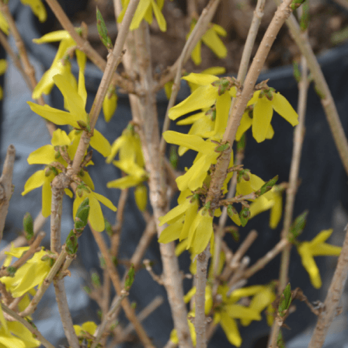 Northern Gold Forsythia Flower Close Up