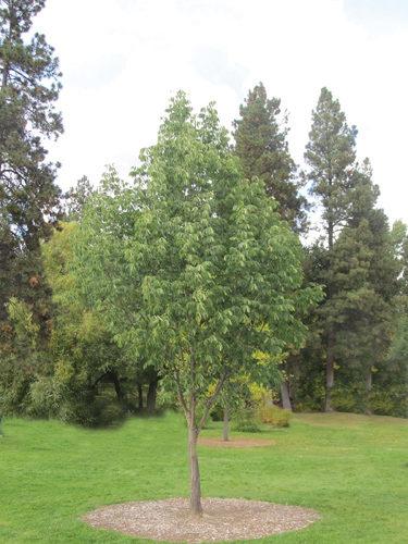 Northern Treasure Ash Full Tree
