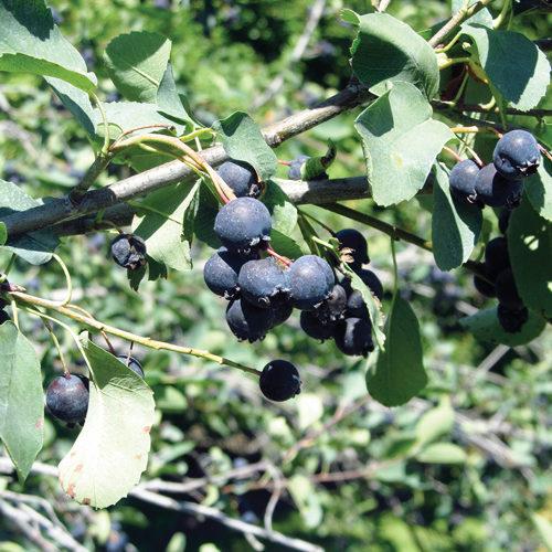 Northline Saskatoon Fruit Close Up
