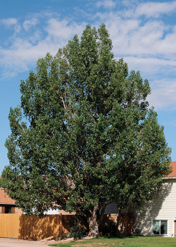 Northwest Poplar Full Tree