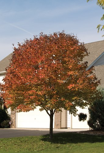 Northwood Maple Fall Colours